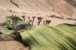 Welwitschia mirabilis small